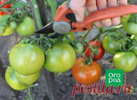 Передают дожди: нужно ли снимать зеленые помидоры с кустов?   Томаты (Огород.ru)