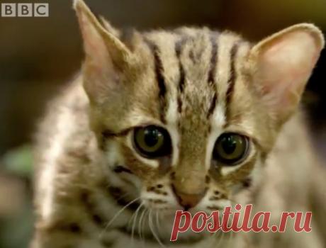 Видео: самая маленькая кошка в мире «Би-Би-Си» в своем аккаунте в «Твитере» разместил видеоролик, на котором запечатлена редкая дикая кошка, она интересна тем, что является самой миниатюрной из всех известных хищников семейства кошачьих.