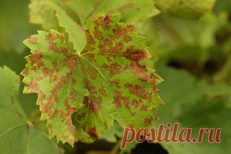 Появились пятна на листьях винограда? Определяем и лечим болезнь по цвету и формам! | Любимая Дача | Яндекс Дзен
