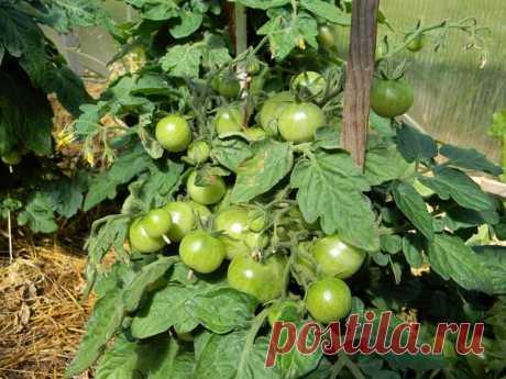 Можно ли снимать зеленые помидоры и как ускорить их дозревание | садоёж | Яндекс Дзен