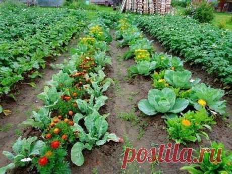Овощи, которые стоит посадить рядом друг с другом.