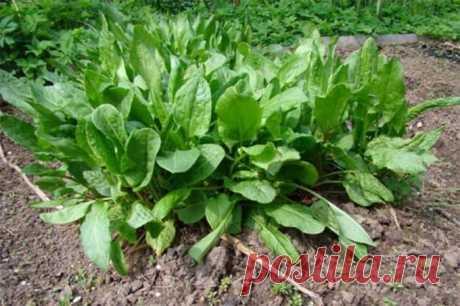 Щавель: описание, сорта, технология посадки, ухода и сбора урожая