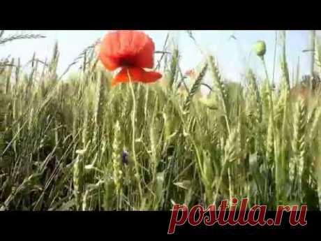 Живокост лекарственный (окопник )/ ЖИВОКОСТ ПОЛЕВОЙ ( осокорки), ЯДОВИТ !!!