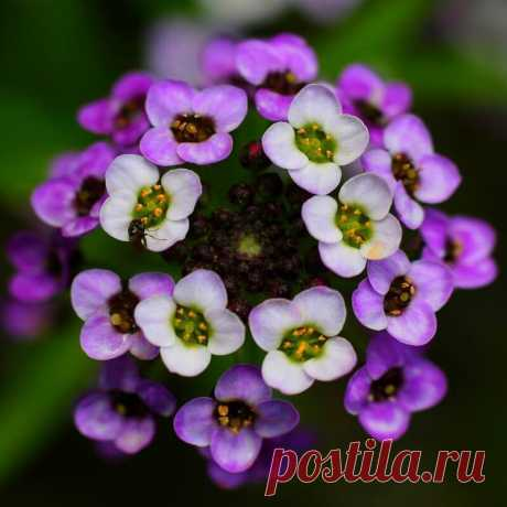 Самые лучшие сорта душистых цветов для Вашего сада