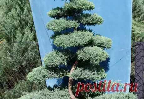можжевельник карпет блю формируем бонсай: 10 тыс изображений найдено в Яндекс.Картинках