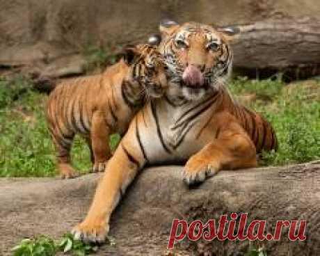 """Сегодня 29 июля отмечается """"Международный день тигра"""""""