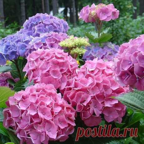 Чем подкармливать гортензию, чтоб цветы были розовыми или голубыми?