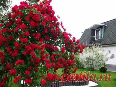 Плетистые розы: изысканные красавицы на участке | Все о цветоводстве | Яндекс Дзен