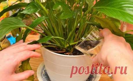 Внимания! Простое средство, способное сотворить чудо даже с самым чахлым растением! Хорошая идея, спасибо засовет! Даже недумала, что онобладает такими свойствами! Очень люблю ,когда вквартире много цветов,но впоследнее время мои цветы болеют,то угерани желтеют листочки,то корни подгнивают,а удекабриста листочки...
