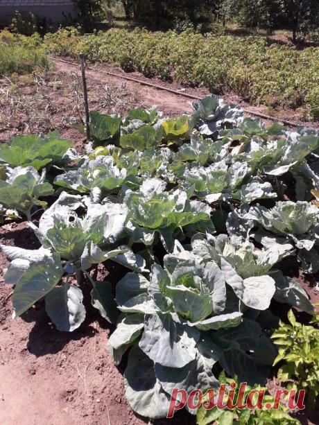 Необычный способ выращивания капусты. Ни разу еще не подвел   Сад, дом, огород   Яндекс Дзен