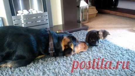 Сильная история об истинной дружбе между псом и котенком: ↪ Потрясающая...