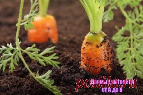 марганцовка для моркови
