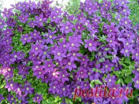 Посадка клематисов весной и осенью
