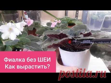Фиалка без ШЕИ!!! - Секреты ВЕЧНОЙ МОЛОДОСТИ!