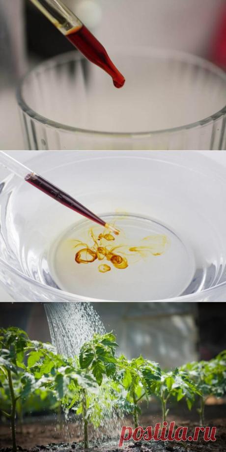 Йодная молочная сыворотка для обработки томатов от фитофторы | В темпі життя