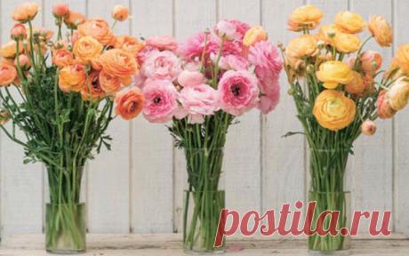 Выбирайте самые крупные клубни — размером 5–7 см, они более продуктивны, и цветы из них крупнее.