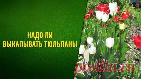 Зачем выкапывать тюльпаны и когда это надо делать? | 6 соток