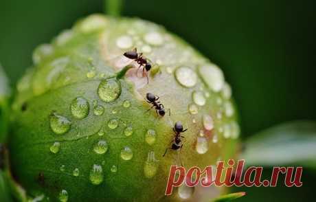 """Как спасти пионы от муравьев. Эффективные методы борьбы: народные и готовые препараты   Журнал """"JK"""" Джей Кей"""