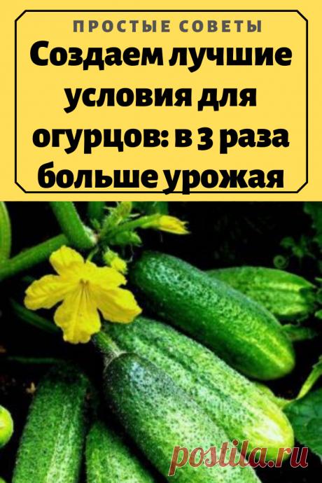 Создаем лучшие условия для огурцов: в 3 раза больше урожая – Простые советы