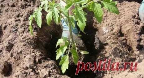 Что необходимо класть в лунку при посадке помидоров? Полезные советы — Мир интересного