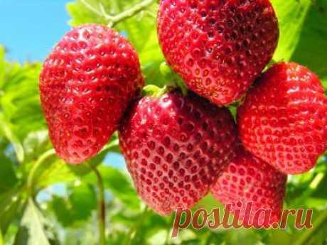 Клубника Мармелада: посадка и выращивание