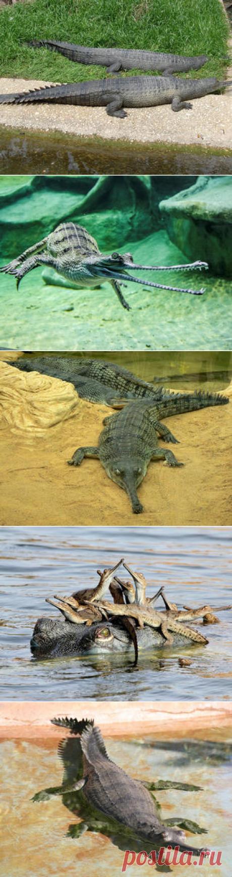 Смотреть изображения гангских гавиалов | Зооляндия