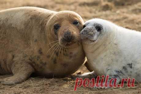 «Фото для семейного альбома». Самка серого тюленя и ее детеныш на пляже неподалеку от Лута (Великобритания).  Доброе утро!