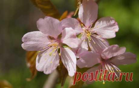 Вот-вот зацветет сакура в Ботаническом саду в Санкт-Петербурге - Путешествуем вместе