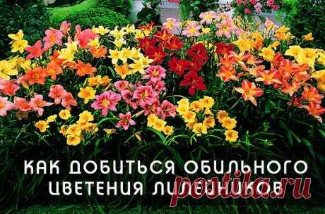 КАК ДОБИТЬСЯ ОБИЛЬНОГО ЦВЕТЕНИЯ ЛИЛЕЙНИКОВ  Лилейники, обладая высокими декоративными свойствами, являясь желанным цветком в любом саду – растение довольно неприхотливое и выращивание его не требует специальных знаний и навыков. Но это не означает, что можно не уделять ему никакого внимания при выращивании на даче. Агротехника выращивания лилейников для получения обильного цветения растений сводится к поливам, подкормкам, обрезке, мульчированию, подготовке к зимовке, борьб...