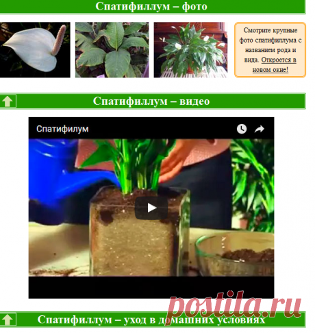 Домашний спатифиллум – уход в домашних условиях, фото спатифиллума и виды, комнатное растение спатифиллум – пересадка и размножение