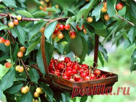 Чтобы сад плодоносил ежегодно - Дачный участок - медиаплатформа МирТесен