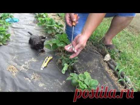 СУПЕР ЛЁГКАЯ ПОСАДКА КЛУБНИКИ!!! Теперь мы всегда садим клубнику только так!!!