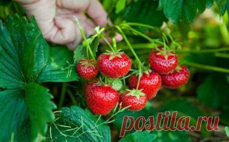 Болезни и вредители, появляющиеся на ягодных культурах в июле