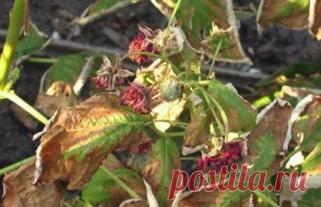 Почему сохнут ягоды малины, и что с этим делать