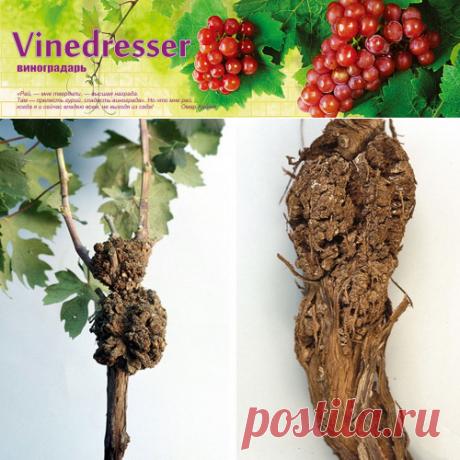 Бактериальный рак винограда - профилактика и лечение