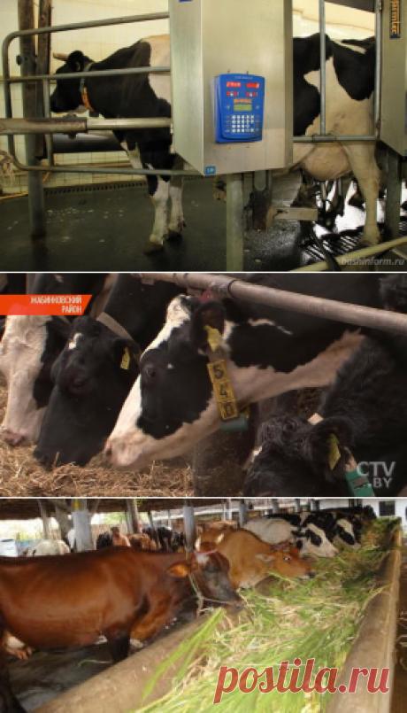 Влияние селена на удои и качество молока коров - БиоКорова