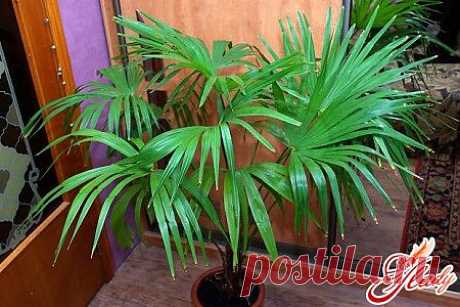 Комнатные пальмы – виды и разновидности тропических деревьев