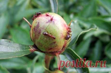 How to get rid of ants on peonies: 5 effective ways | Summer leisure | Yandex Zen