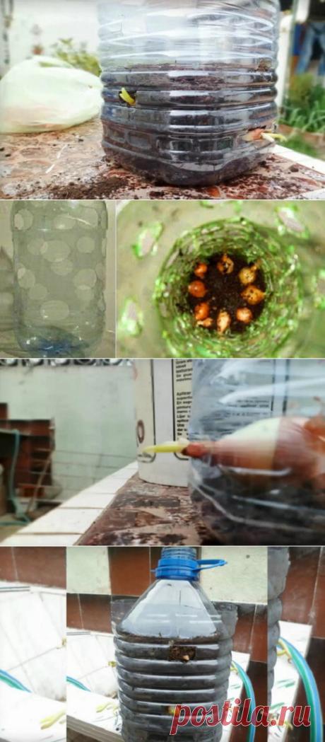 Восхитительный трюк с бутылкой: круглый год собираю урожай зеленого лука! — Бабушкины секреты