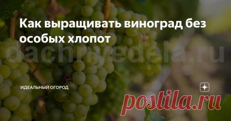 Как выращивать виноград без особых хлопот Виноград – популярное среди дачников растение, однако, чтобы получить хороший урожай, требуется затратить время и приложить немало усилий.