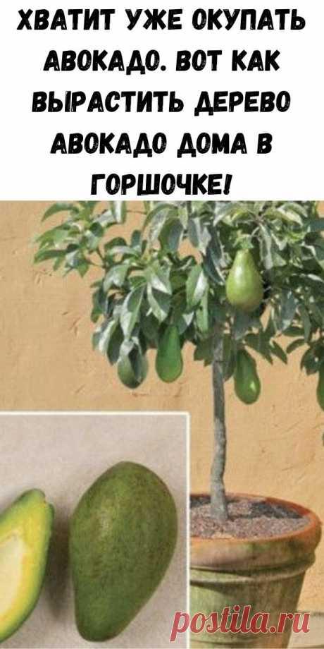 Хватит уже окупать авокадо. Вот как вырастить дерево авокадо дома в горшочке! - Стильные советы