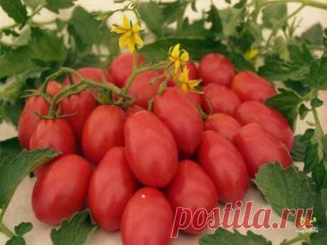 Томатные хитрости! Если при посадке рассады в каждую лунку положить горсть ржаных сухарей (перемолотых) и немного древесной золы, то томаты буду сильные, крупные, урожайные. За 2-3 дня до высадки в грунт рассады томатов у рассады срезают нижние 2-3 листочка. Первые примерно 2 недели после высадки в грунт желательно не поливать - при этом корневая система будет развиваться в грунт и растения будут меньше страдать от засушливых периодов.