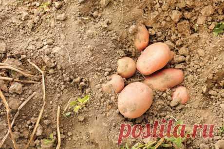 """Когда наступает пора уборки картофеля и ее правильные сроки копки   Журнал """"JK"""" Джей Кей Преждевременная или слишком поздняя уборка картофеля, конечно, не принесет вам пользы. Как можно определить, когда нужно копать картошку и каковы"""