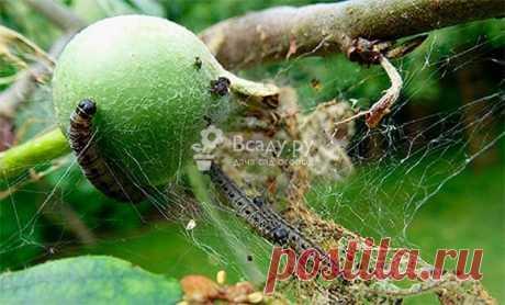 Вредители яблони и борьба с ними, болезни яблонь Обработка яблонь от вредителей после цветения, летом, ранней весной - лучшие народные рецепты и химические средства.  Заболевания яблонь и их лечение