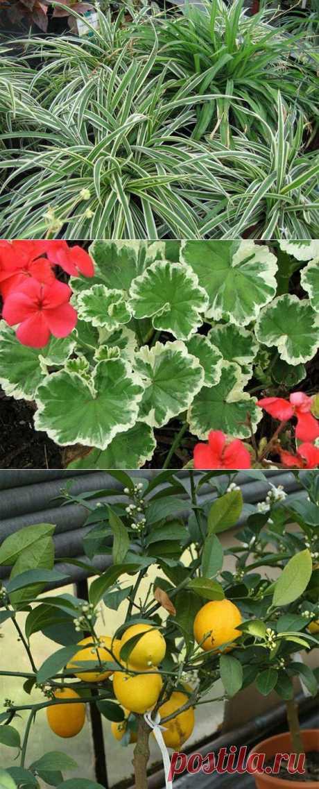 Комнатные цветы,которые защищают наше здоровье.