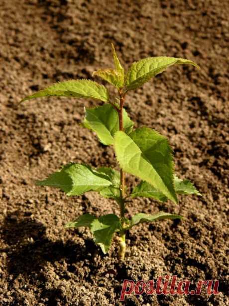 Абрикос из косточки: пробуем вырастить дерево сами | prosad.ru всё про сад и огород