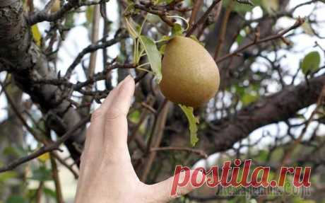 Особенности обрезки яблонь и груш