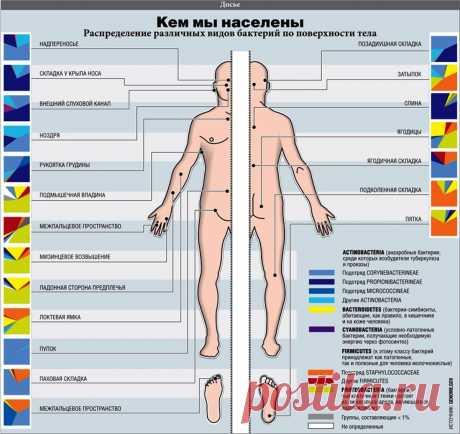 Кем мы населены. Распределение различных видов бактерий по поверхности тела