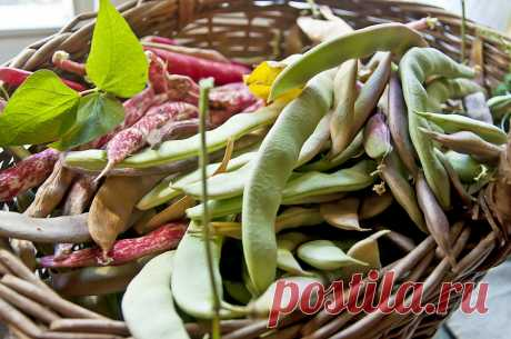Зеленая, французская, спаржевая, стручковая… как правильно выращивать фасоль?