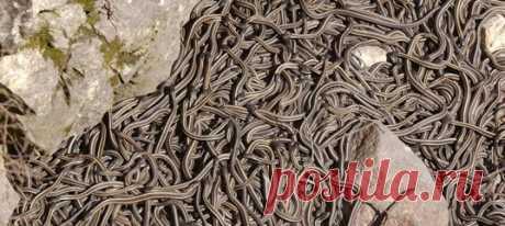 Если вы герпетофоб, то по весне обходите стороной городок Нарсисс в провинции Манитоба: в это время года там правят змеи. И их там очень, очень много.